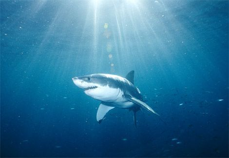 great-white-shark-endangered.jpg