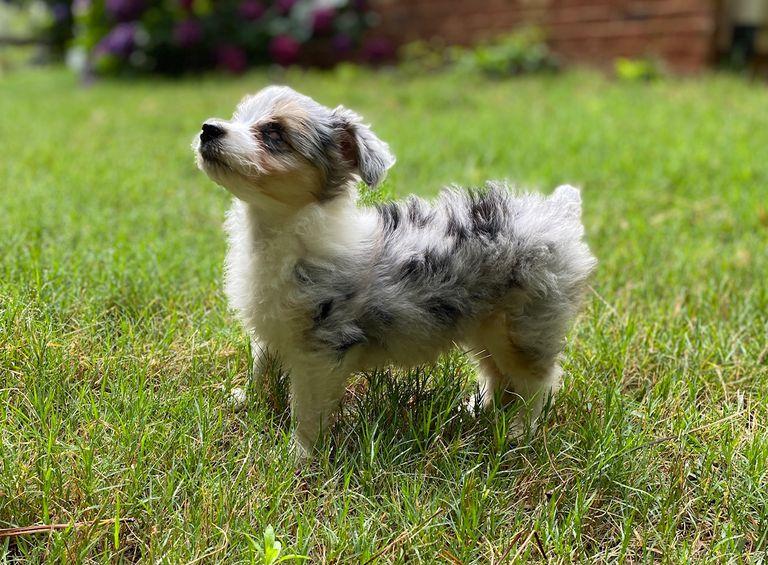 Gertie the puppy