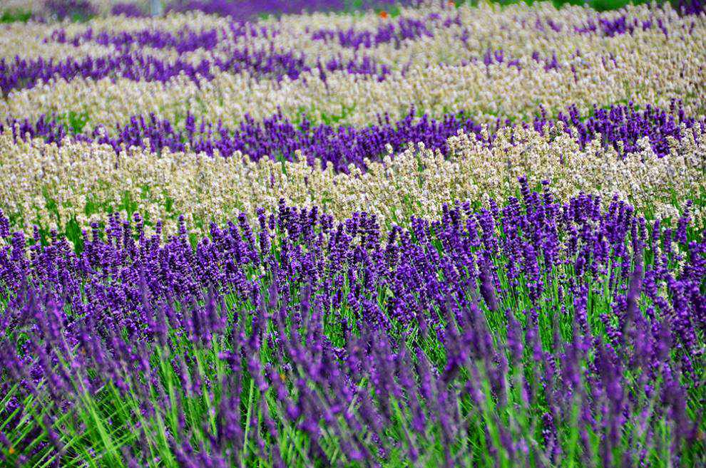 Lavender Capital of North America: Thick lavender flower bushes