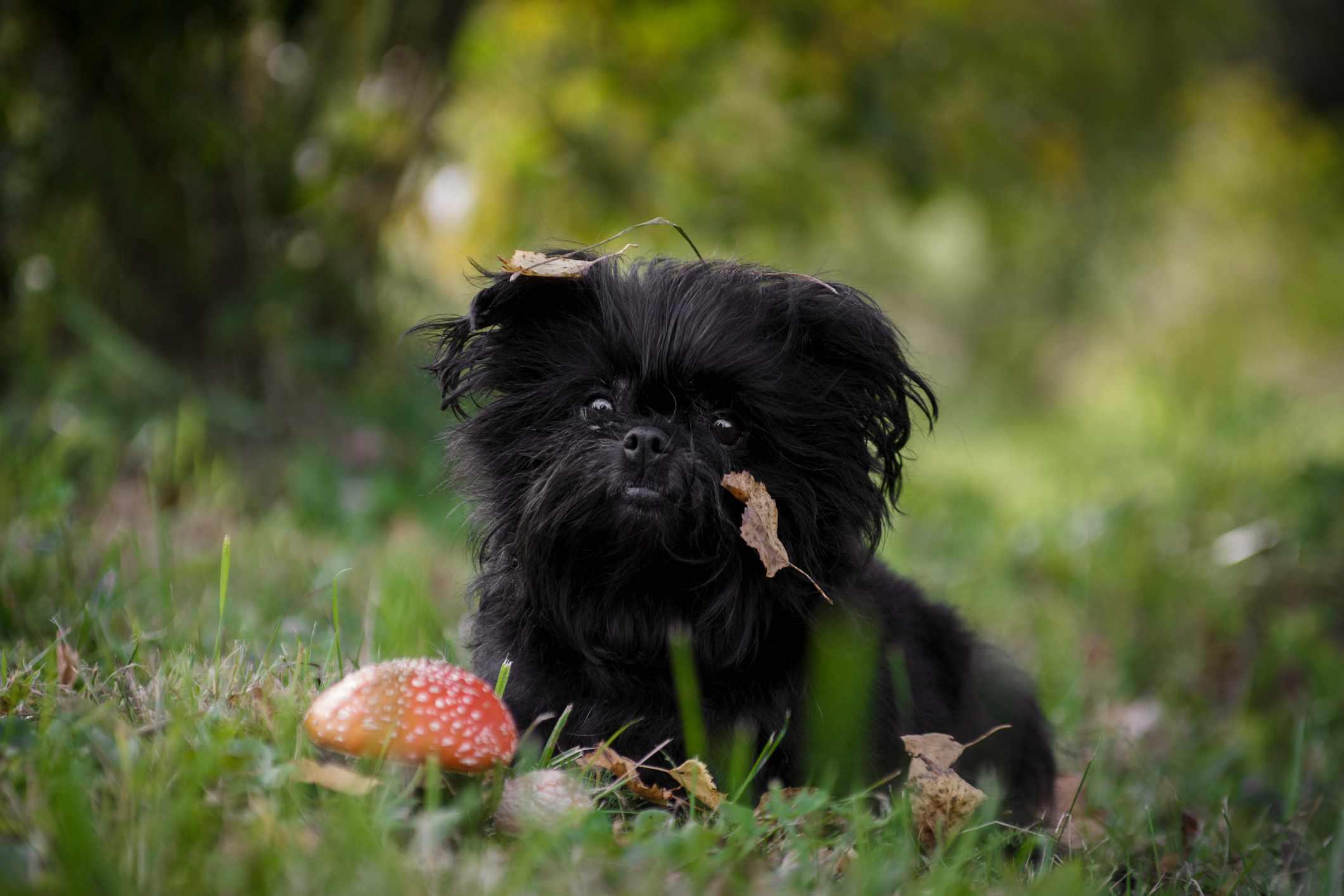 Black affenpinscher sitting in grass