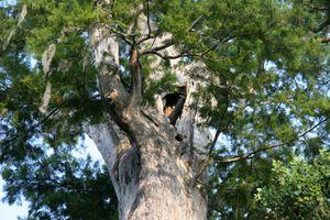 The Senator a bald Cypress tree before it burned down.