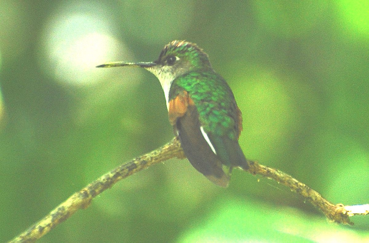 A blue-capped hummingbird with bright emerald feathers sitting on a small twig.