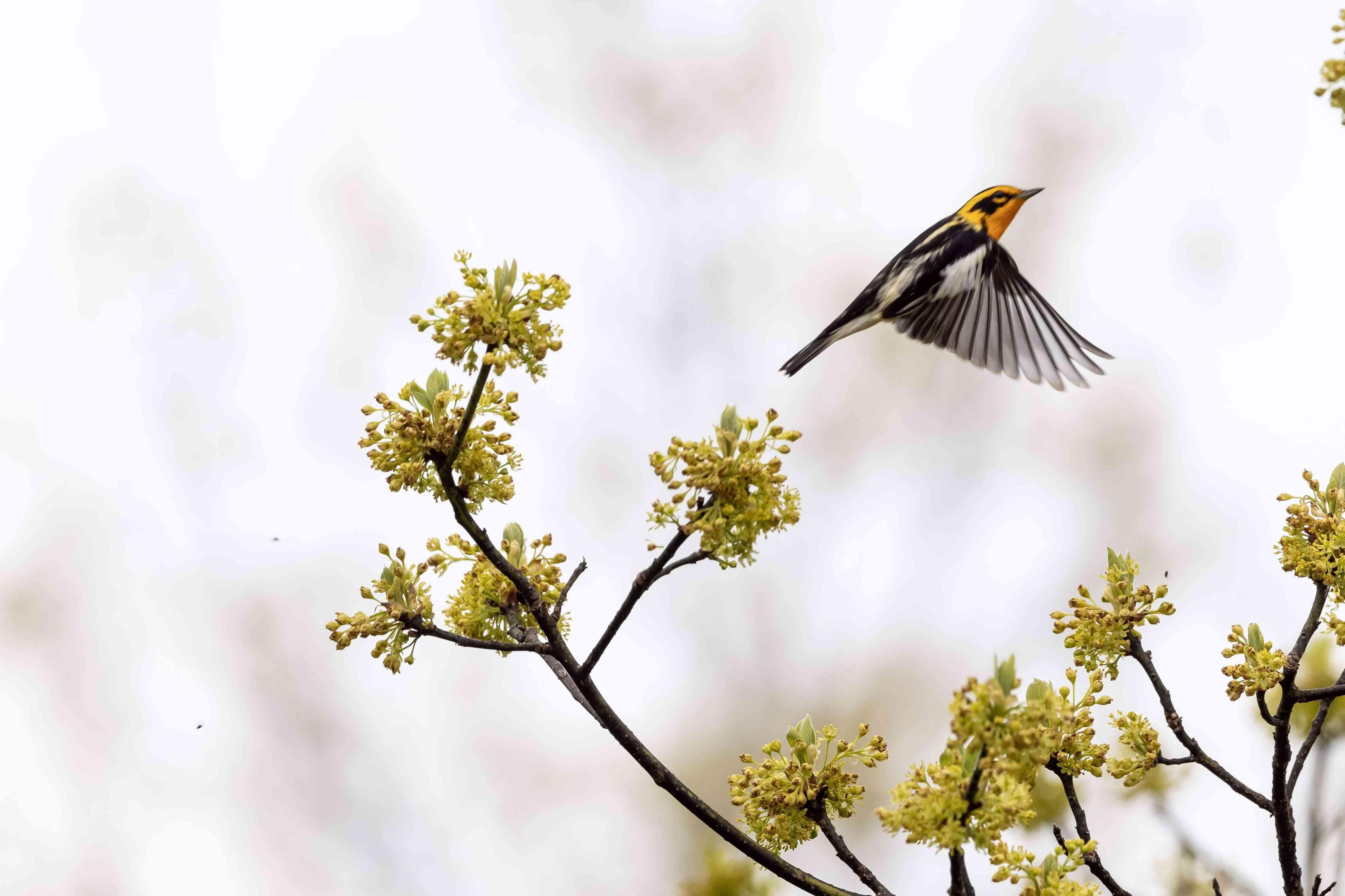 Blackburnian warbler flying from a tree