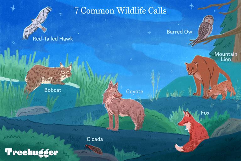 7 common wildlife calls in your backyard