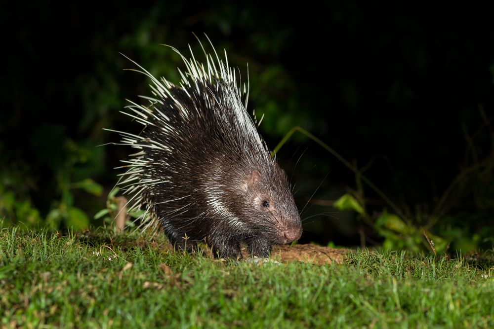 small porcupine standing in grass at night