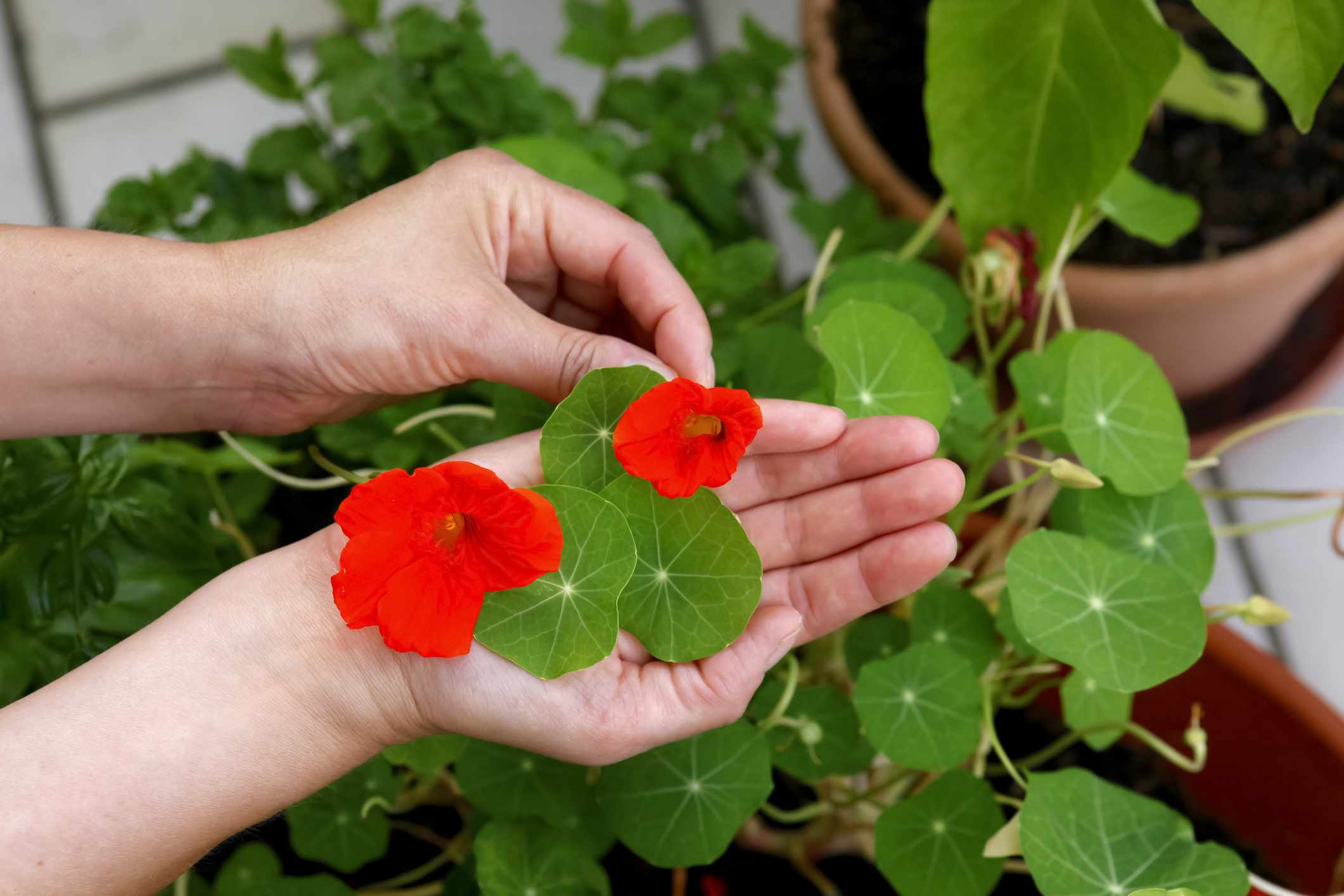 Person picking leaves and flowers from potted nasturtium