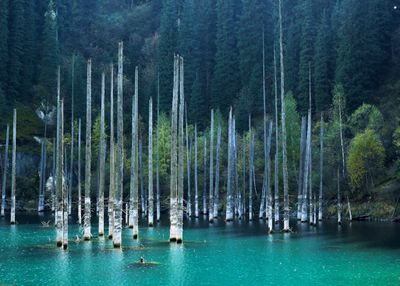 Tall, thin trees emerging from light blue waters in a mountain lake.