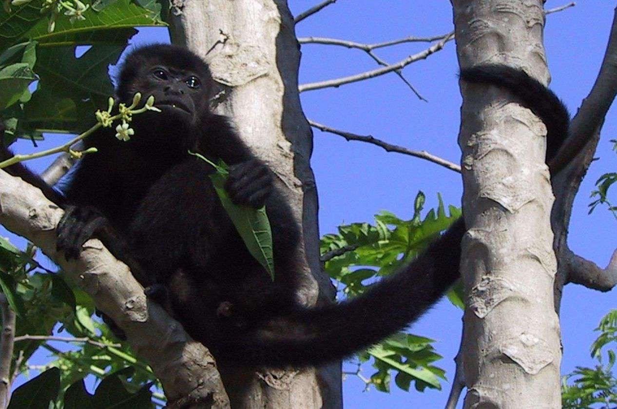 A Yucatan black howler monkey sits eating leaves with his tail wrapped around a tree.