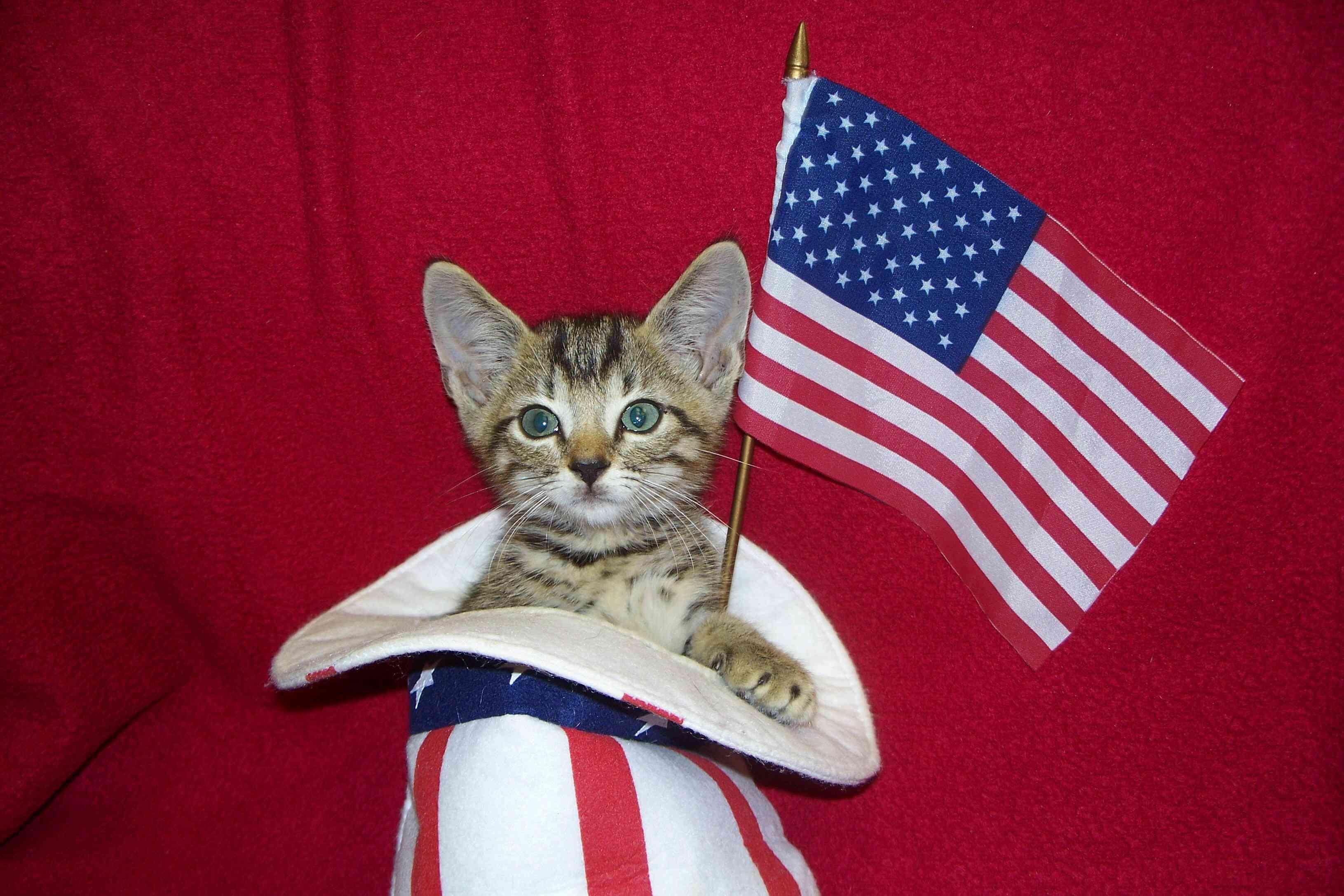 tabby cat in uncle sam hat waving american flag