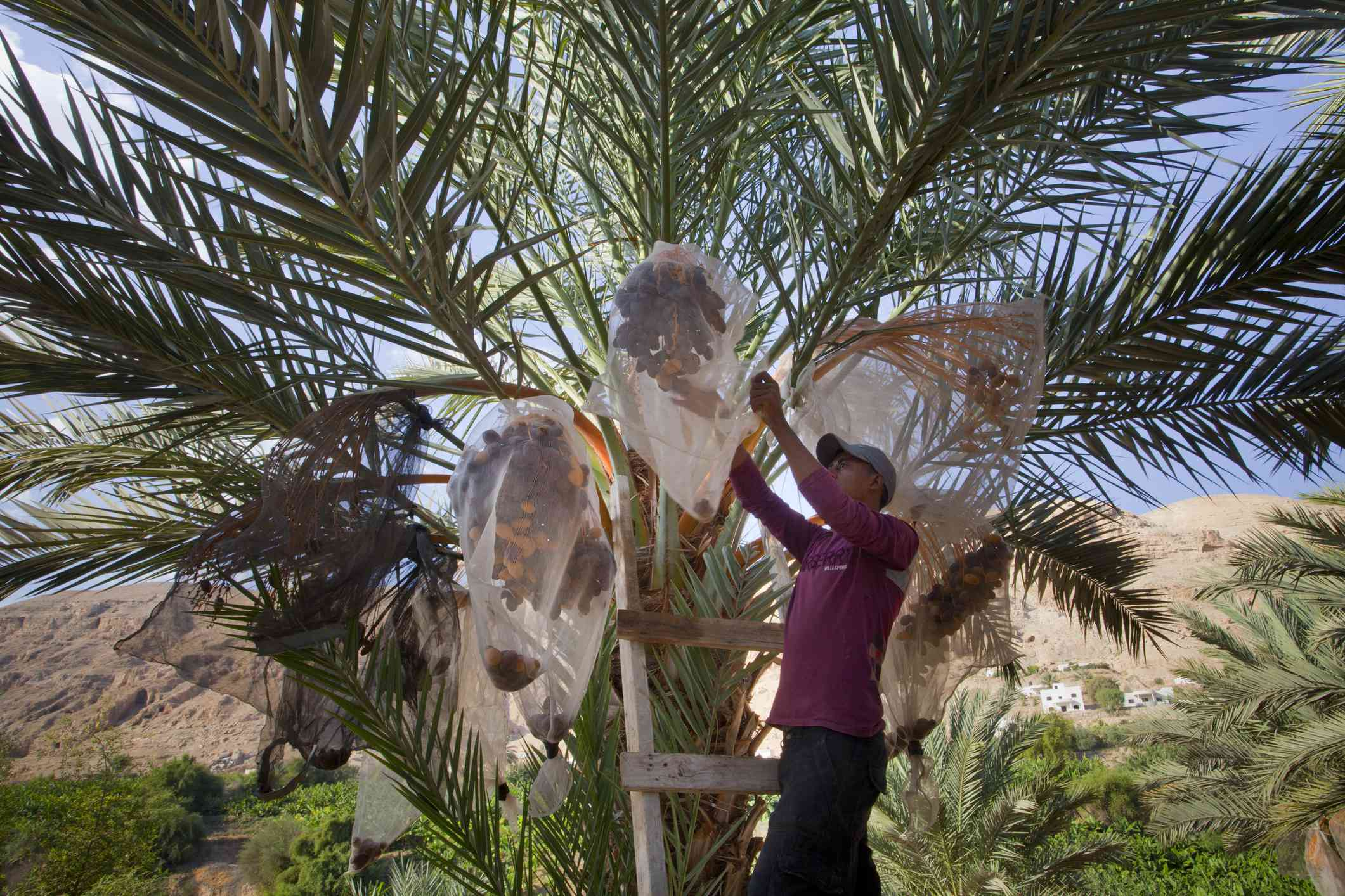 young man who collects the dates from a palm tree