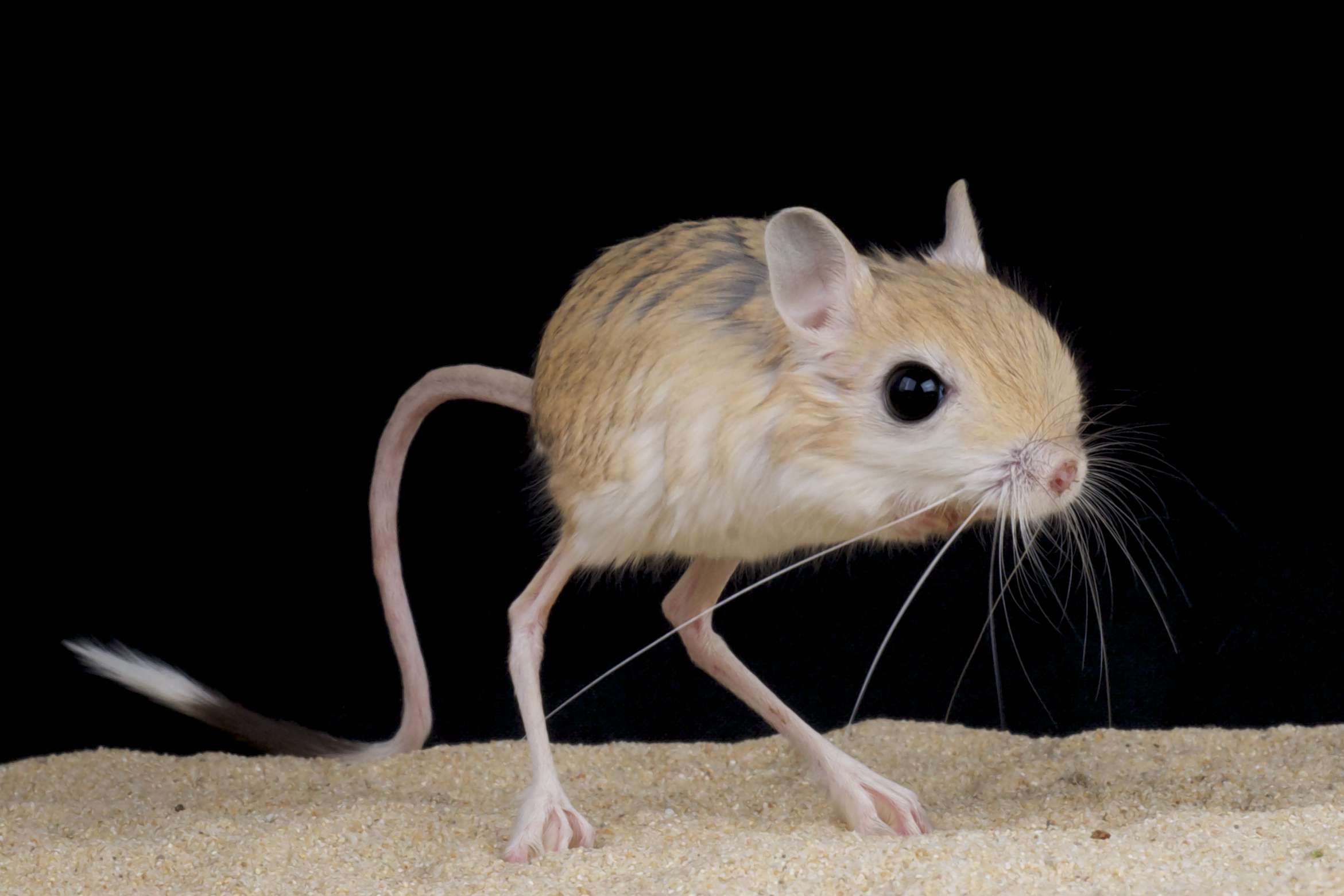 Jerboa, a small steppe-dwelling rodent