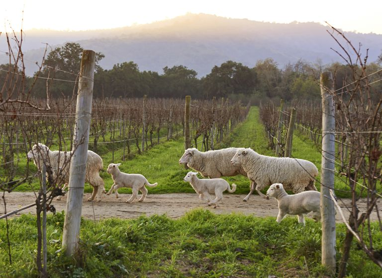 Sheep running through a vineyard.