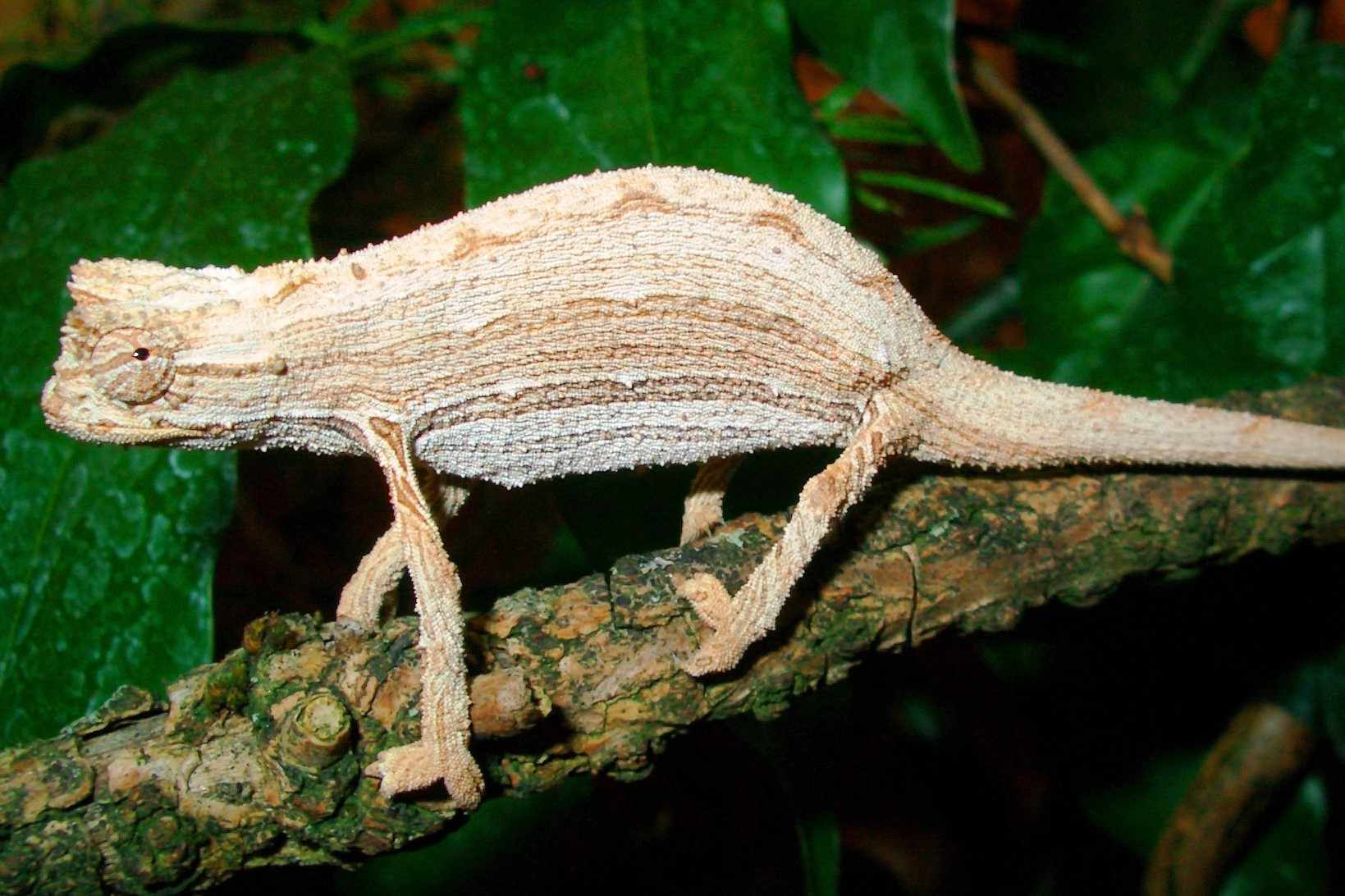 white and tan kenyan pygmy chameleon stands on tree branch