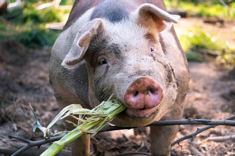closeup shot of cross-eyed pig eating food