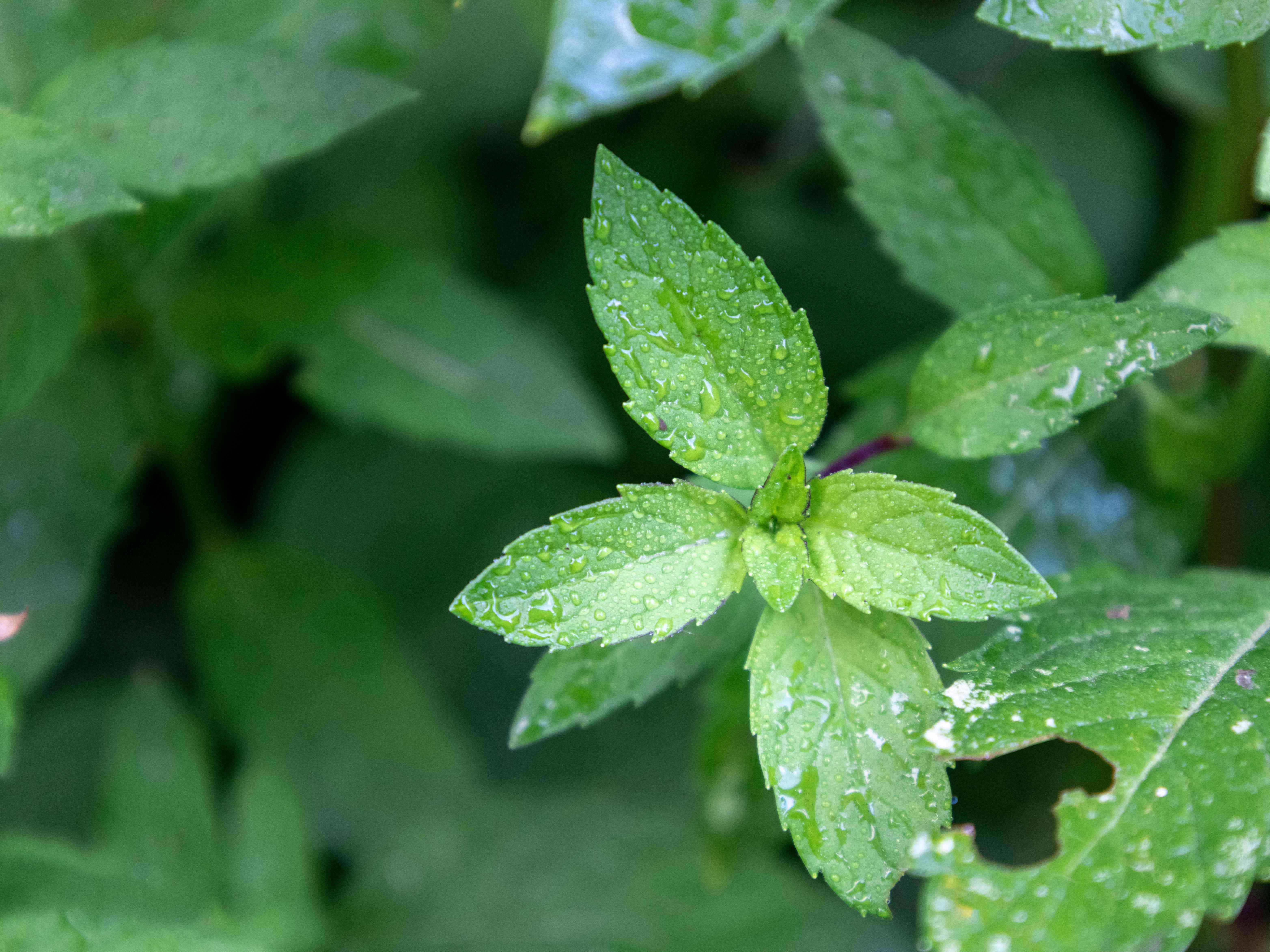 closeup of bright green peppermint with water droplets