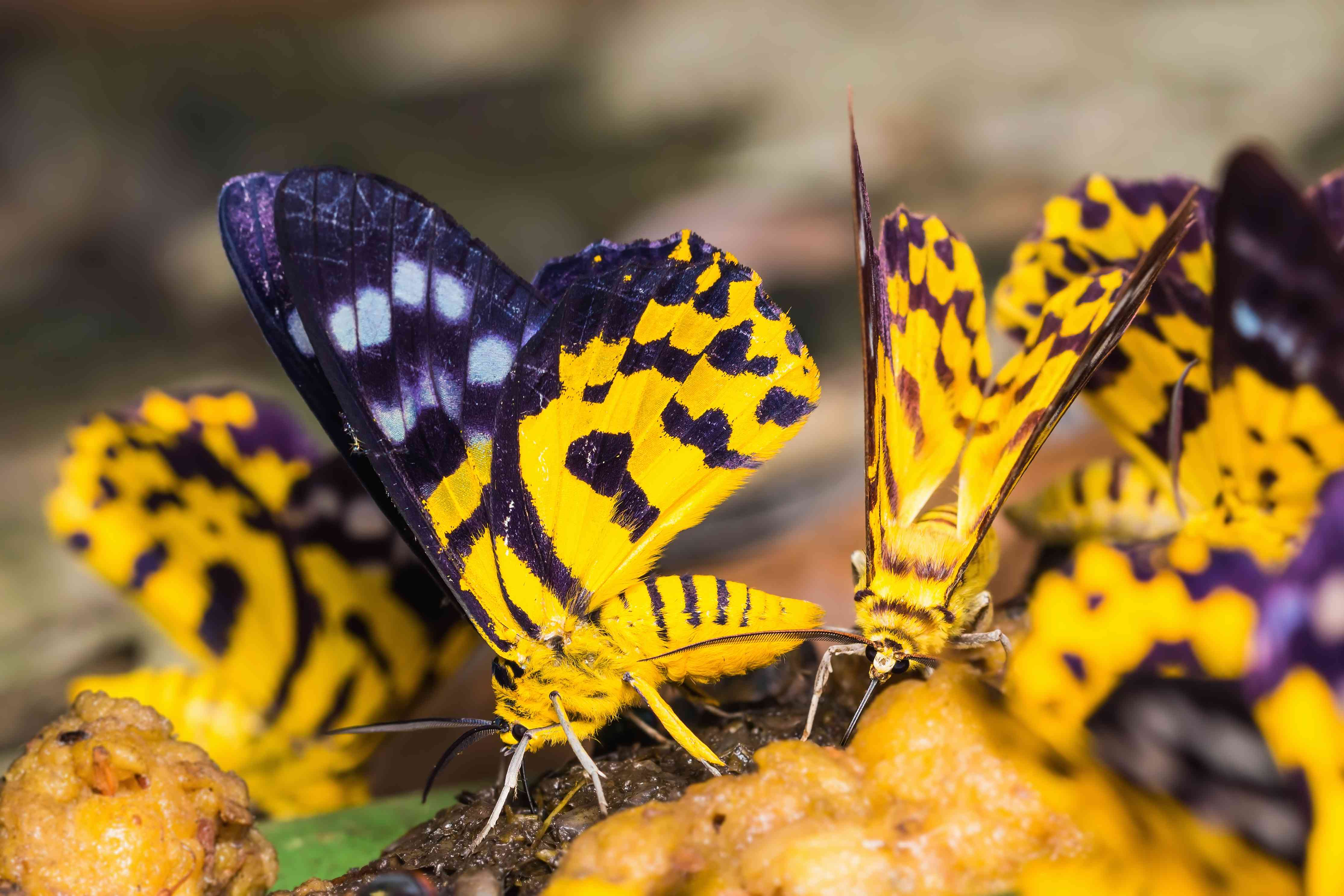 A group of purple and yellow moths perches on the ground