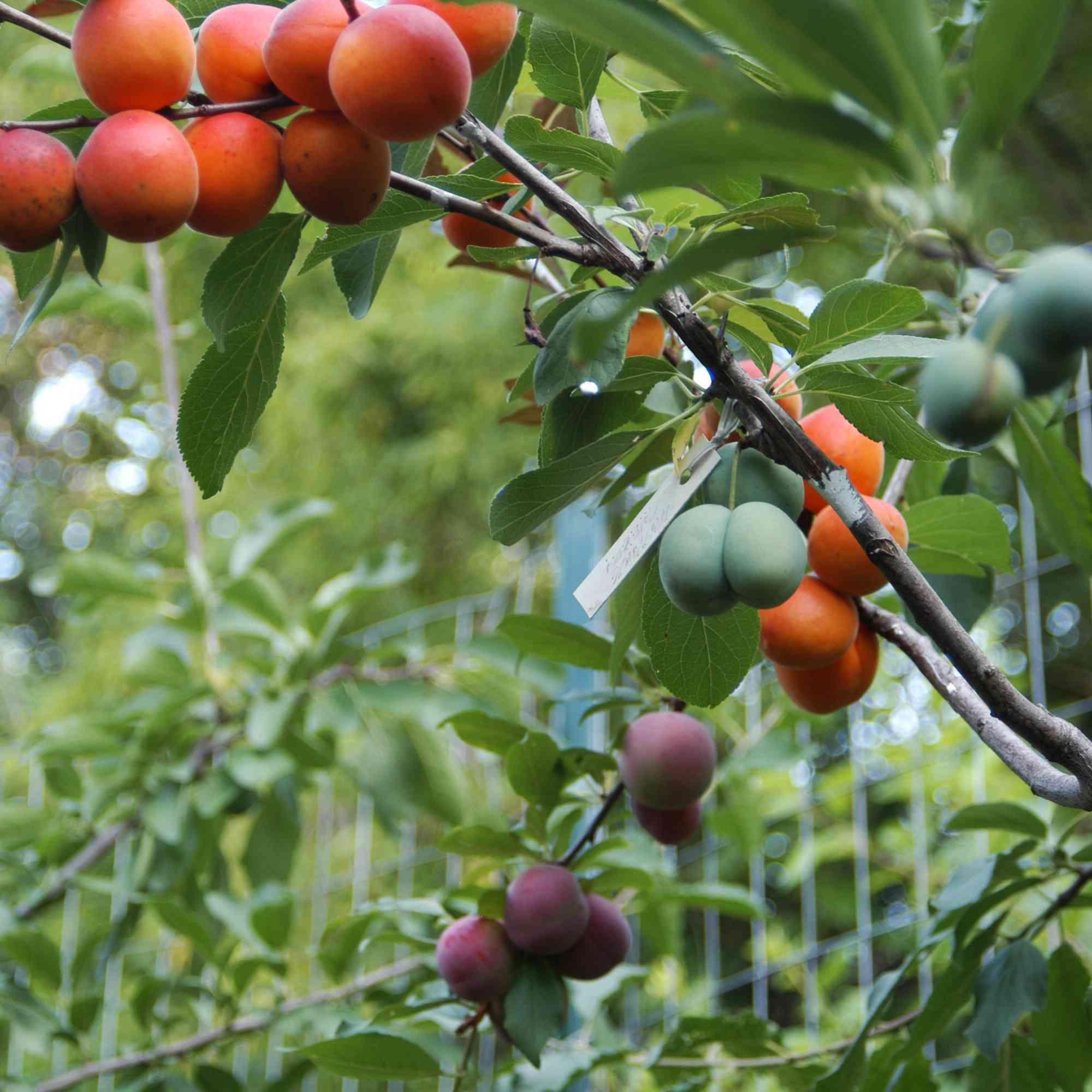 Tree of Fruit