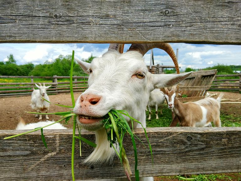 Close up of goat eating in front of other goats