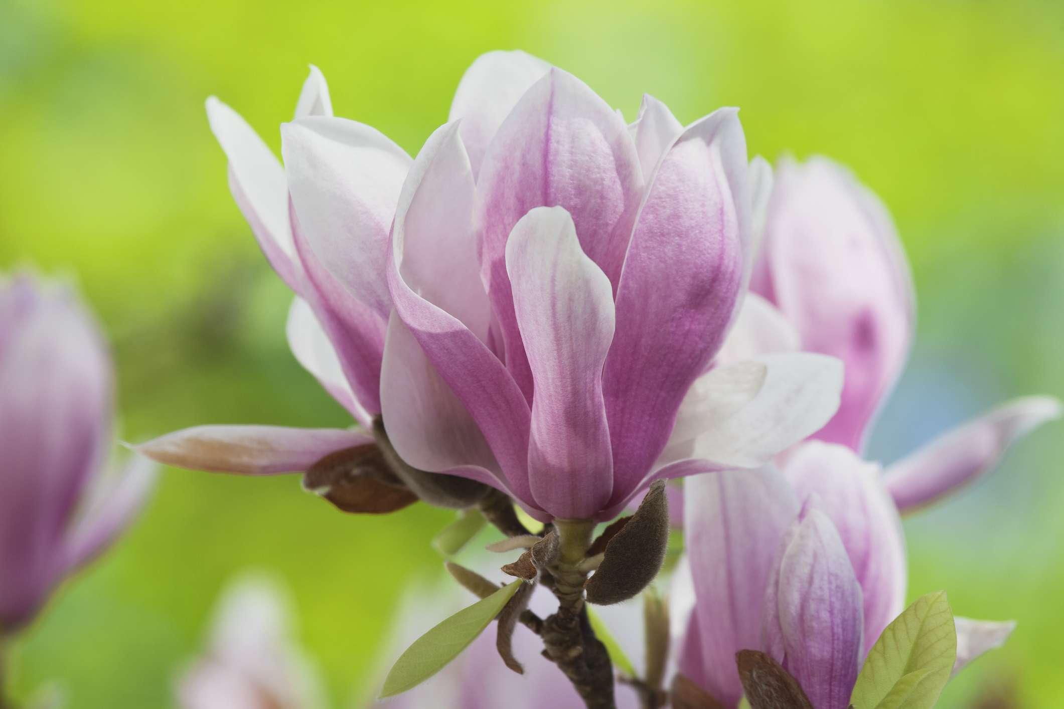 Detail shot of pink saucer Magnolia flowers.
