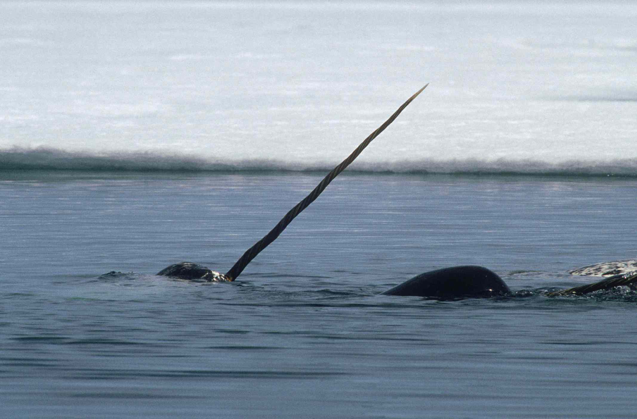 A narwhal in the Canadian Arctic