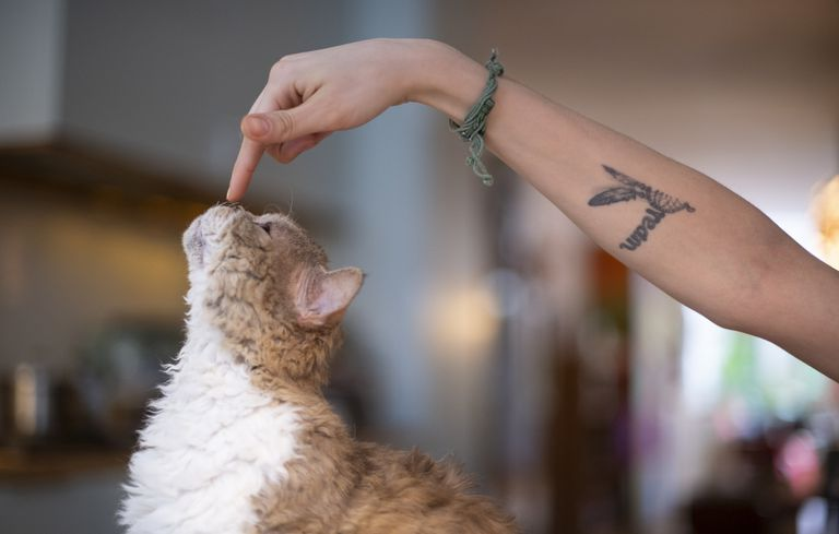 A Selkirk cat being touched on the nose by a hand on a tattooed arm.