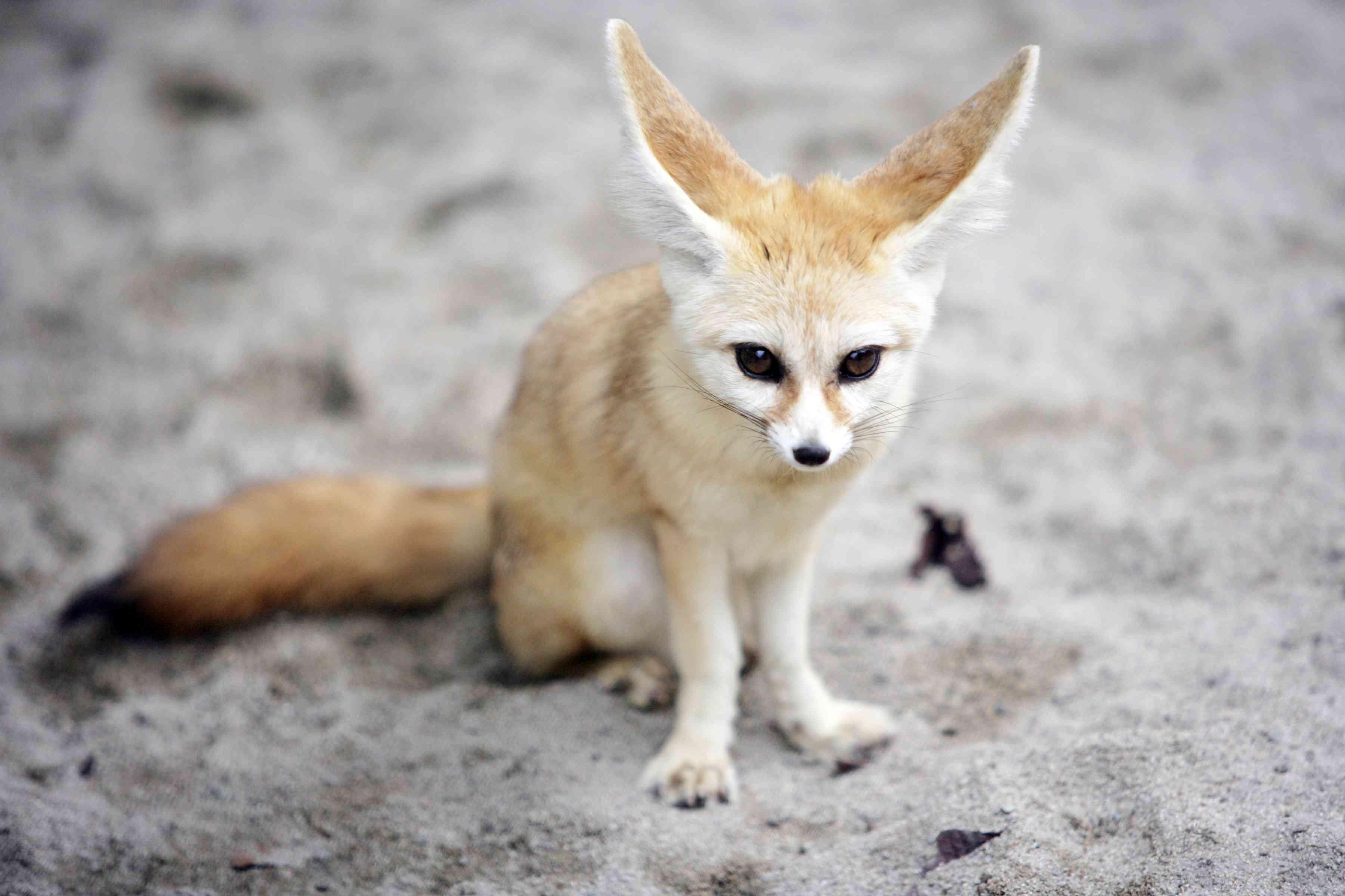 Fennec fox sitting in the sand