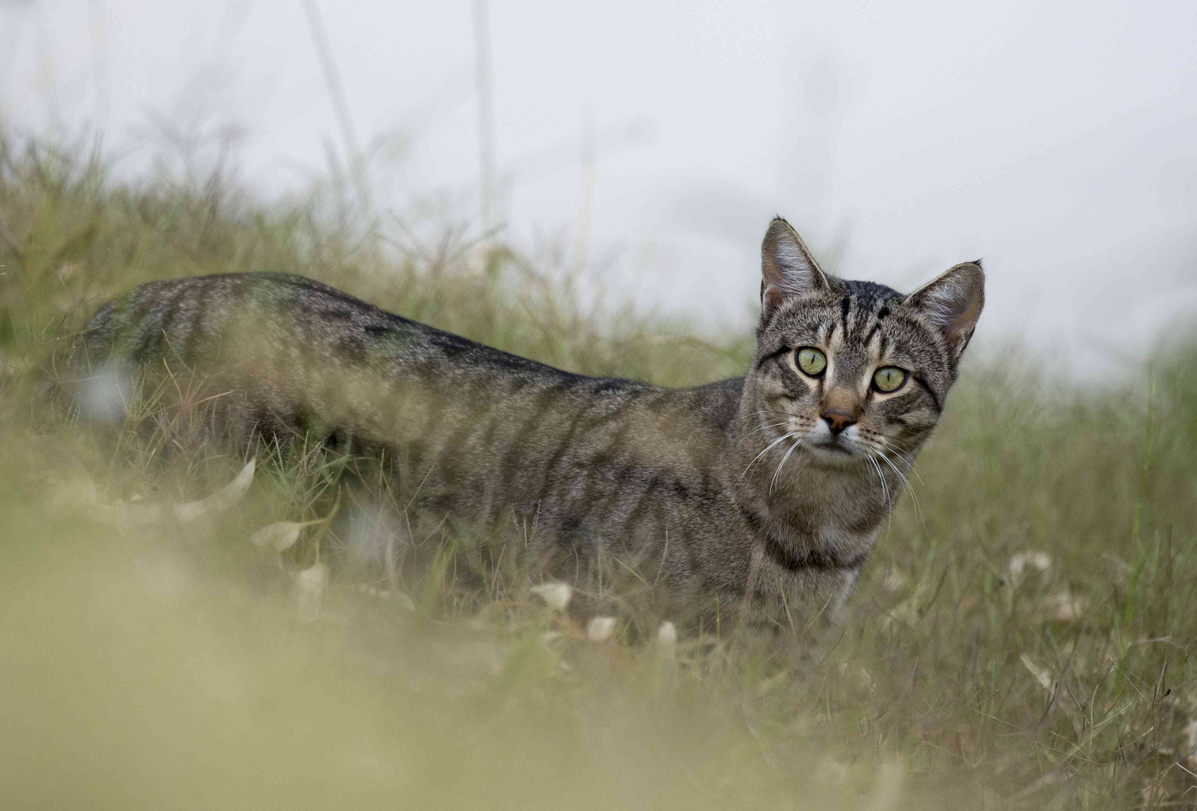A feral cat on the banks of Cooper Creek, South Australia.