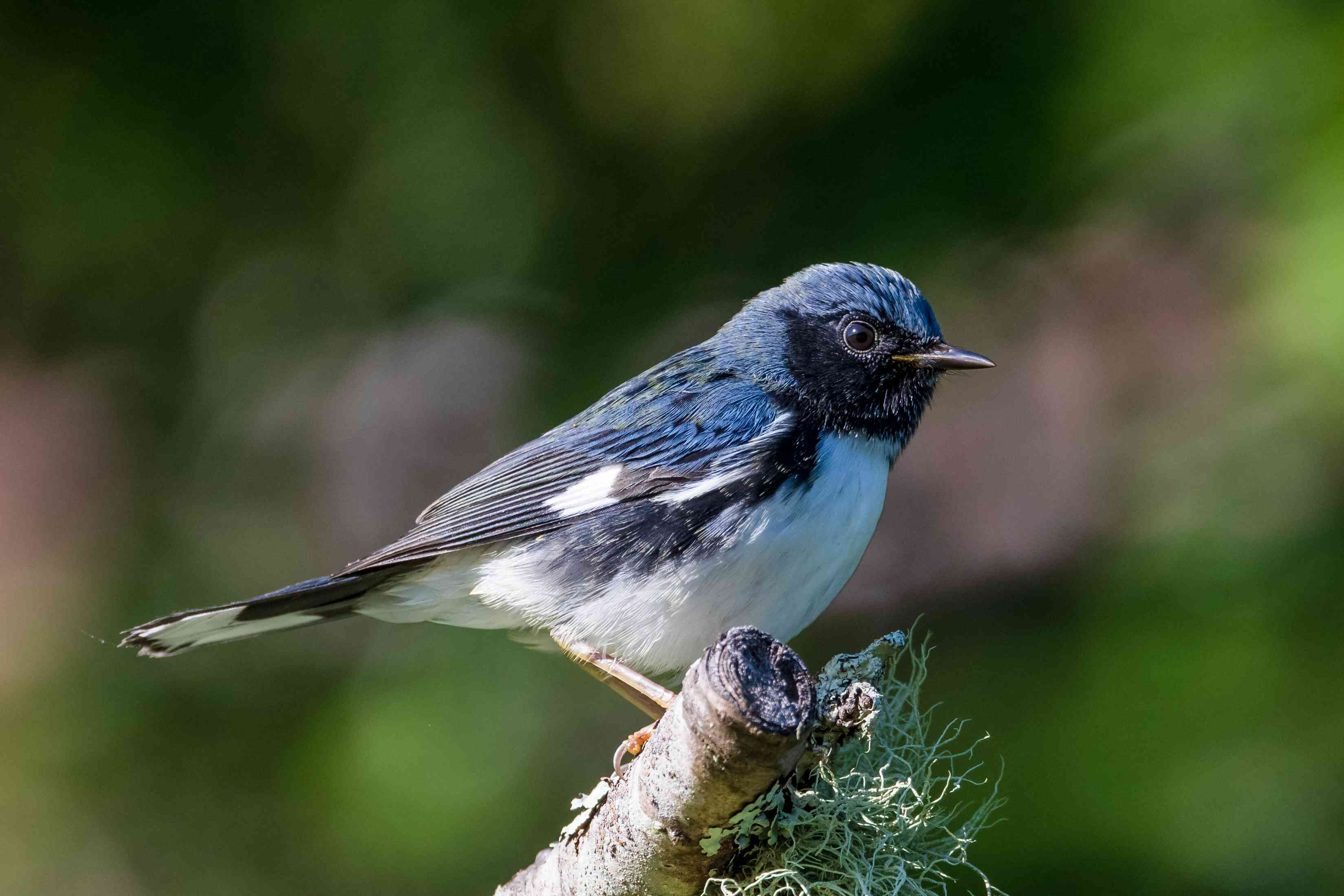 Side view of black-throated blue warbler on branch