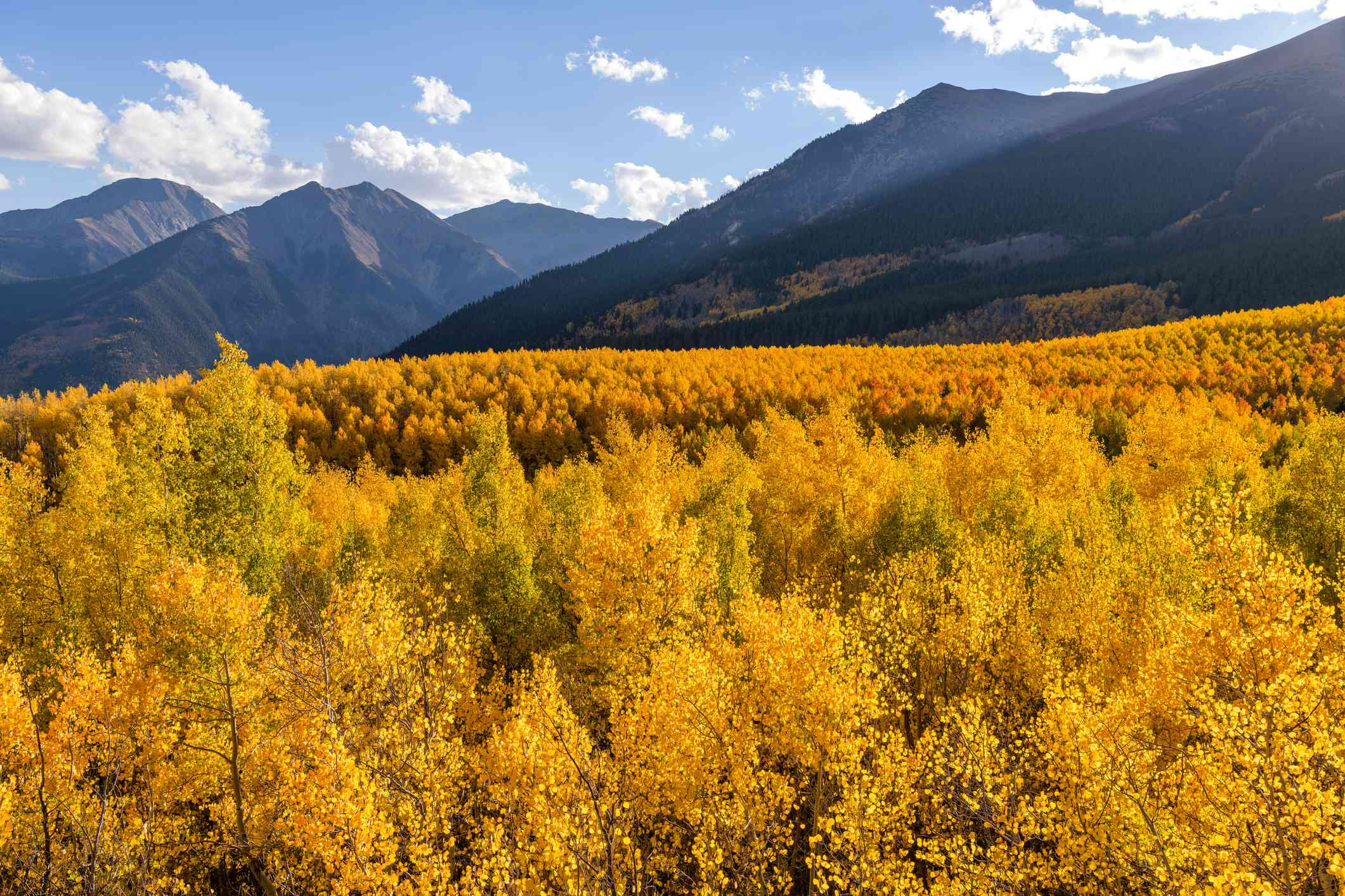 Autumn view of a dense colorful aspen grove in a valley at base of steep peaks of Sawatch Range. Twin Lakes, Leadville, Colorado with blue sky and white clouds above the mountain peaks