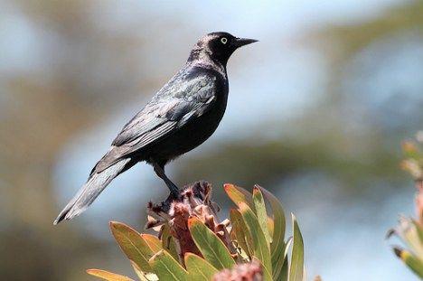 blackbird stands on a bush