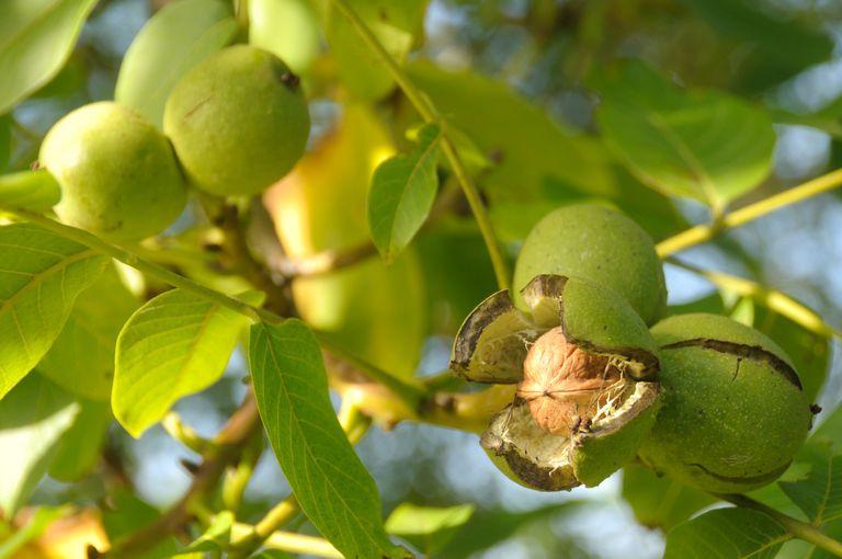 Ripe walnut ready to fall