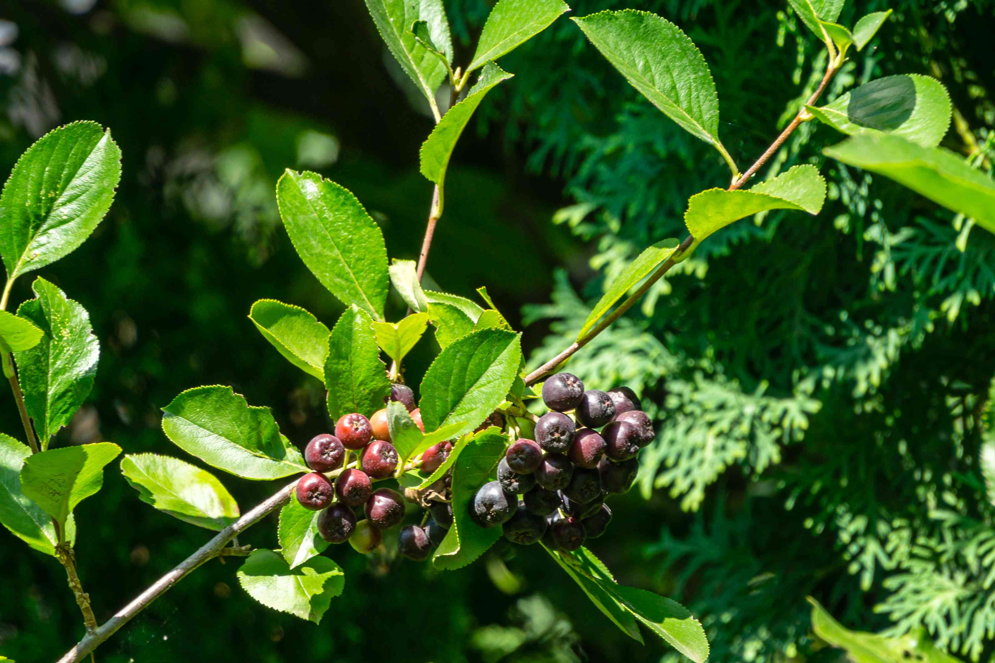 Canadian serviceberry plant with dark red and purple berries