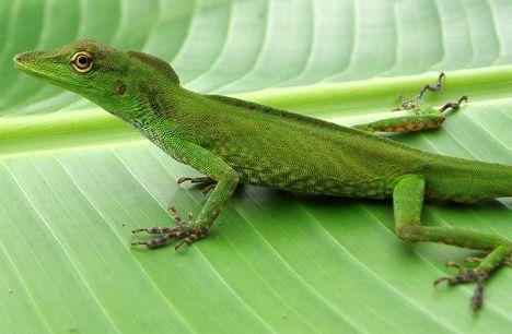 new amazon lizard photo