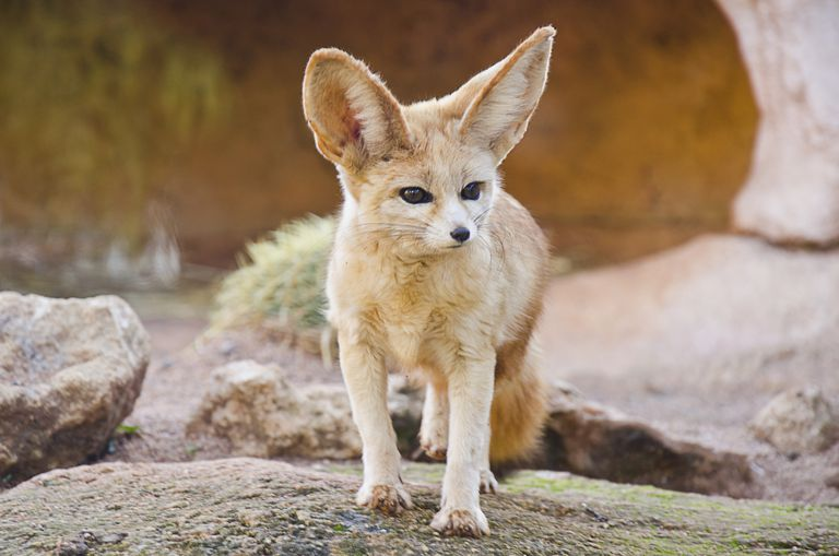 What the fennec fox lacks in size it makes up for in personality.