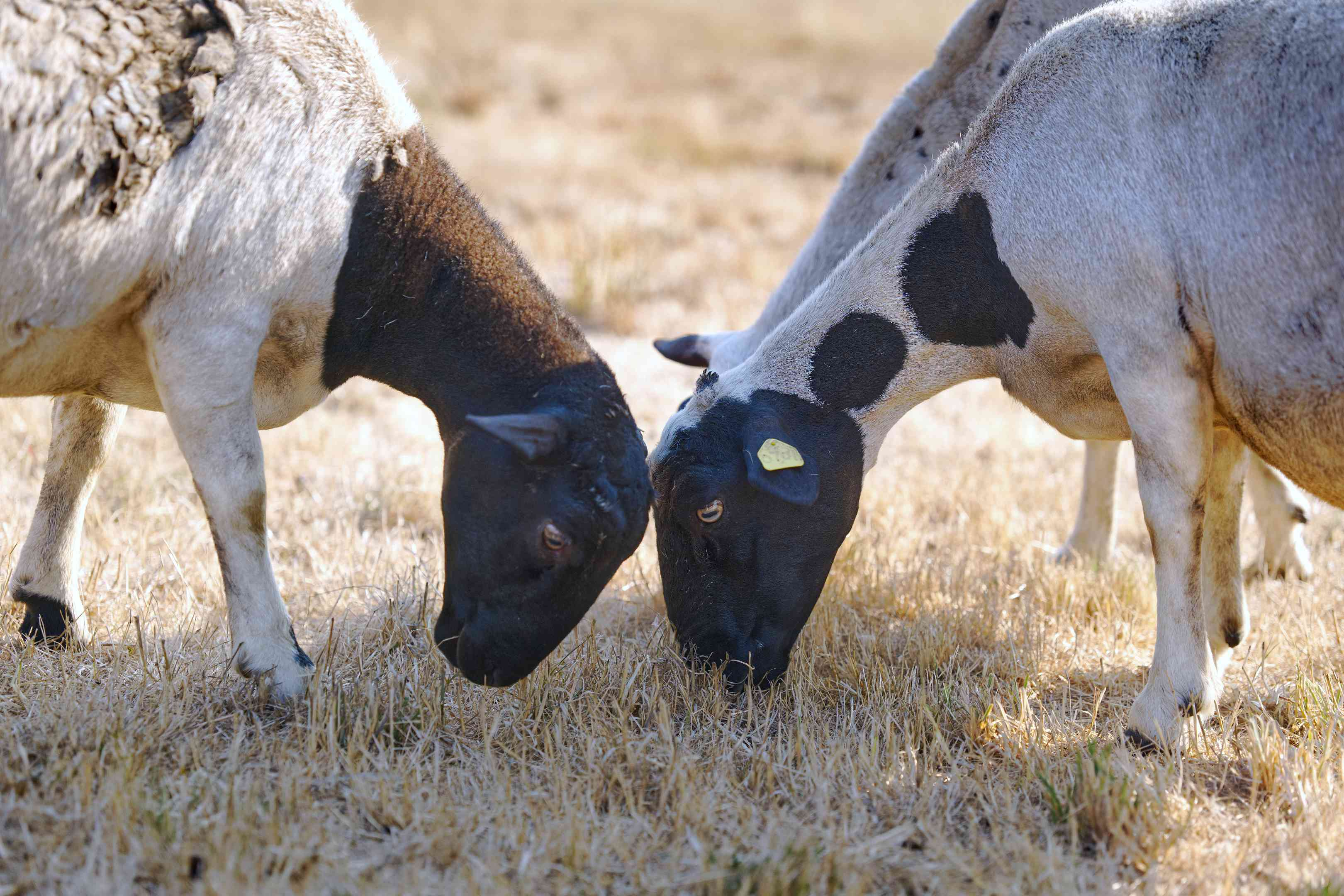 three sheep put heads down in the dried grass grazing for food