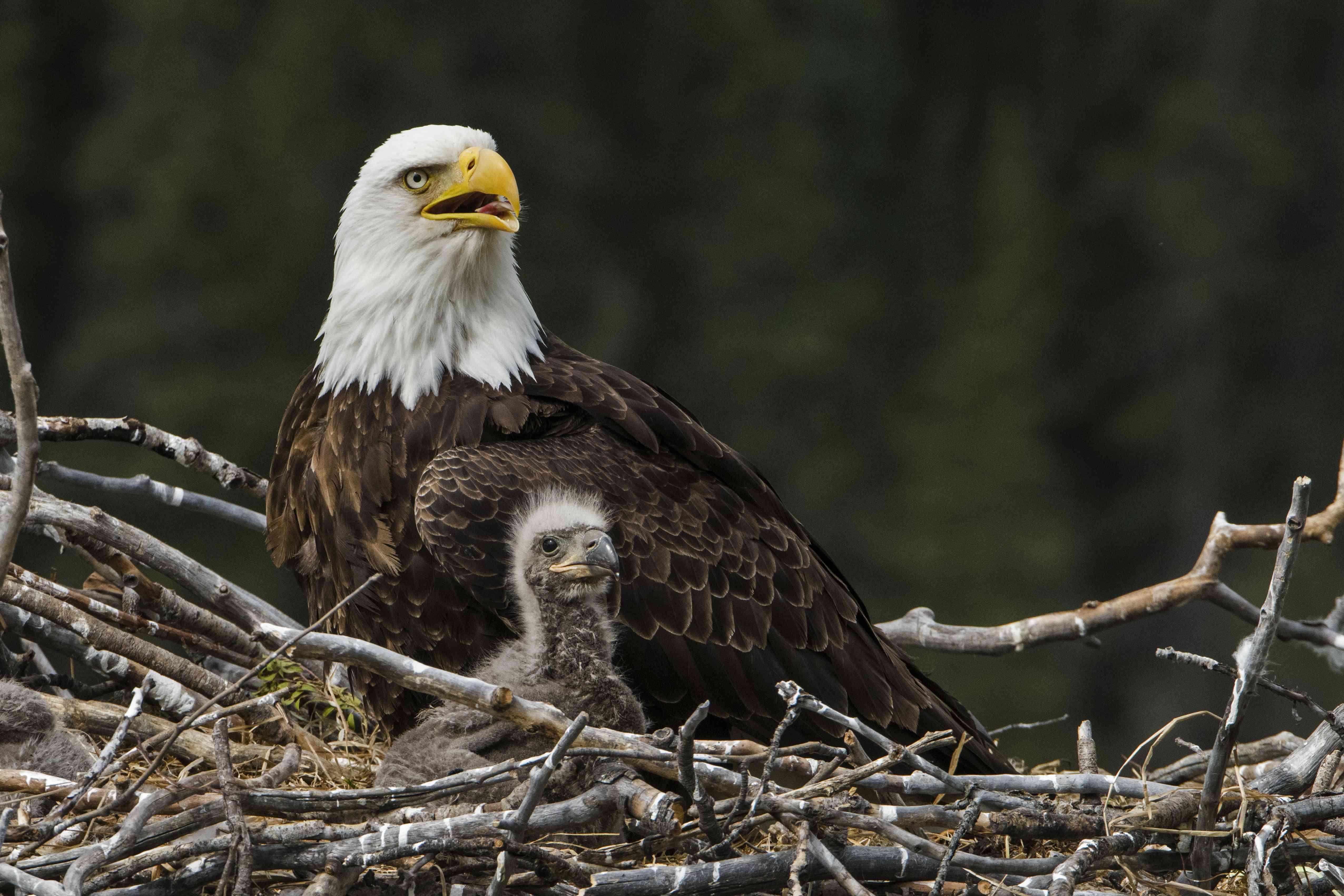 Bald Eagle, nesting