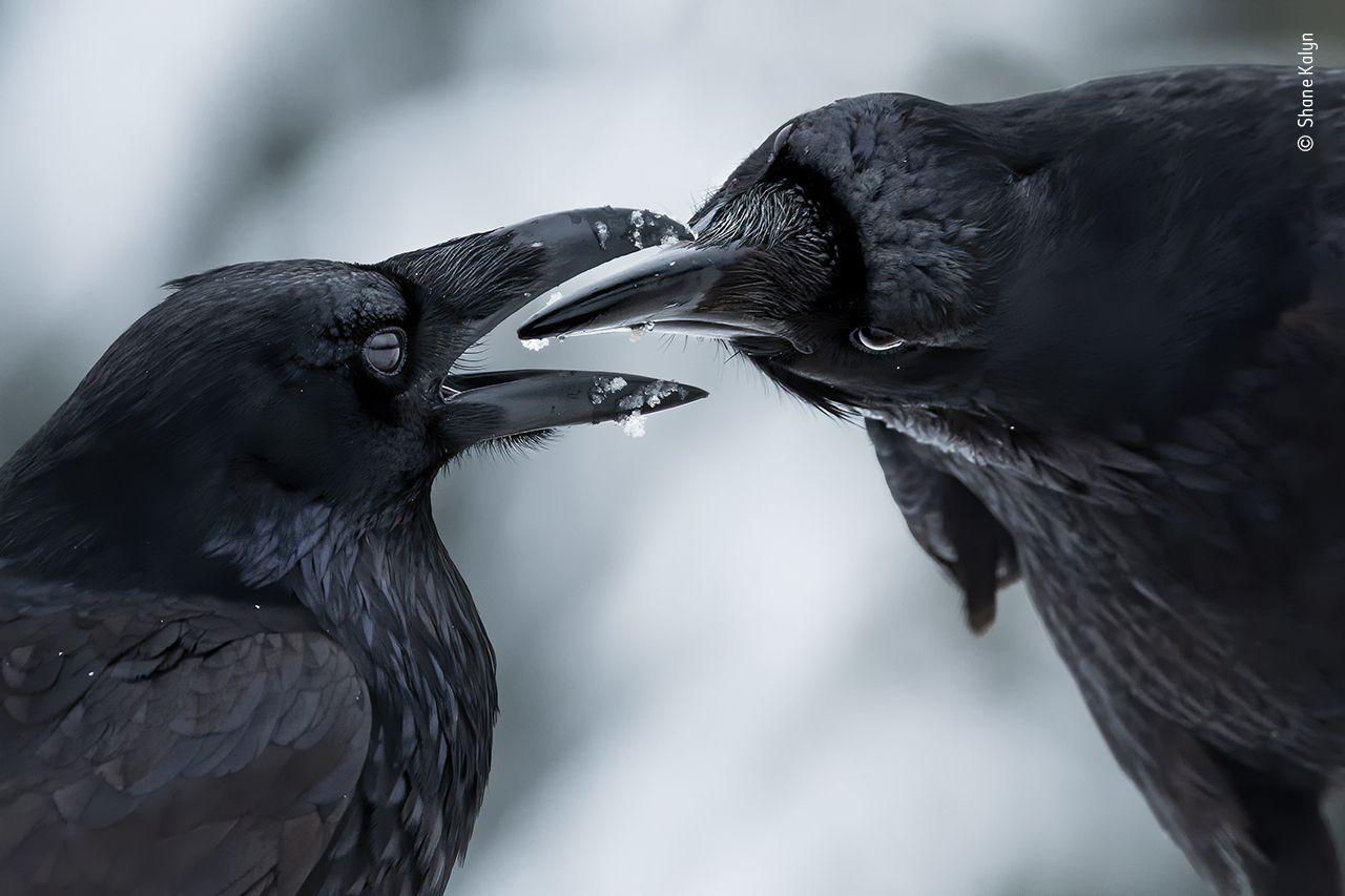 raven courtship display