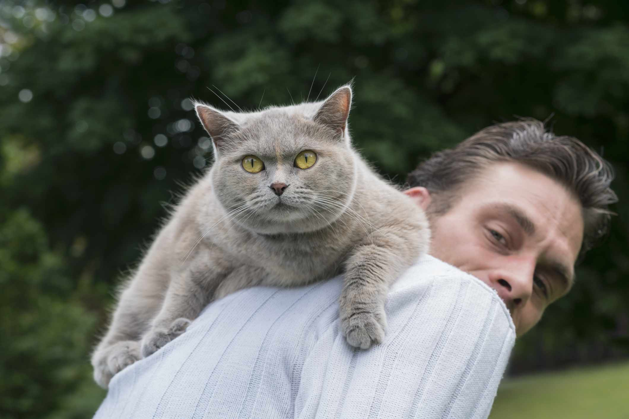 gray cat gazes at camera while climbing on man's back
