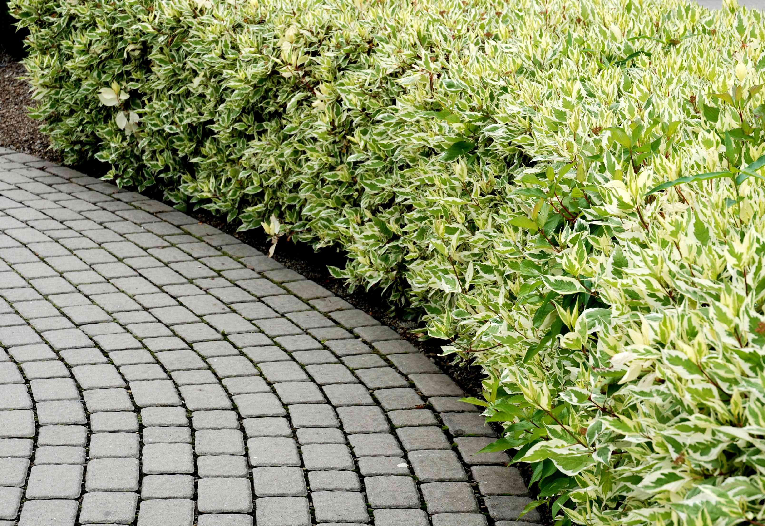 Dogwood hedge next to a path