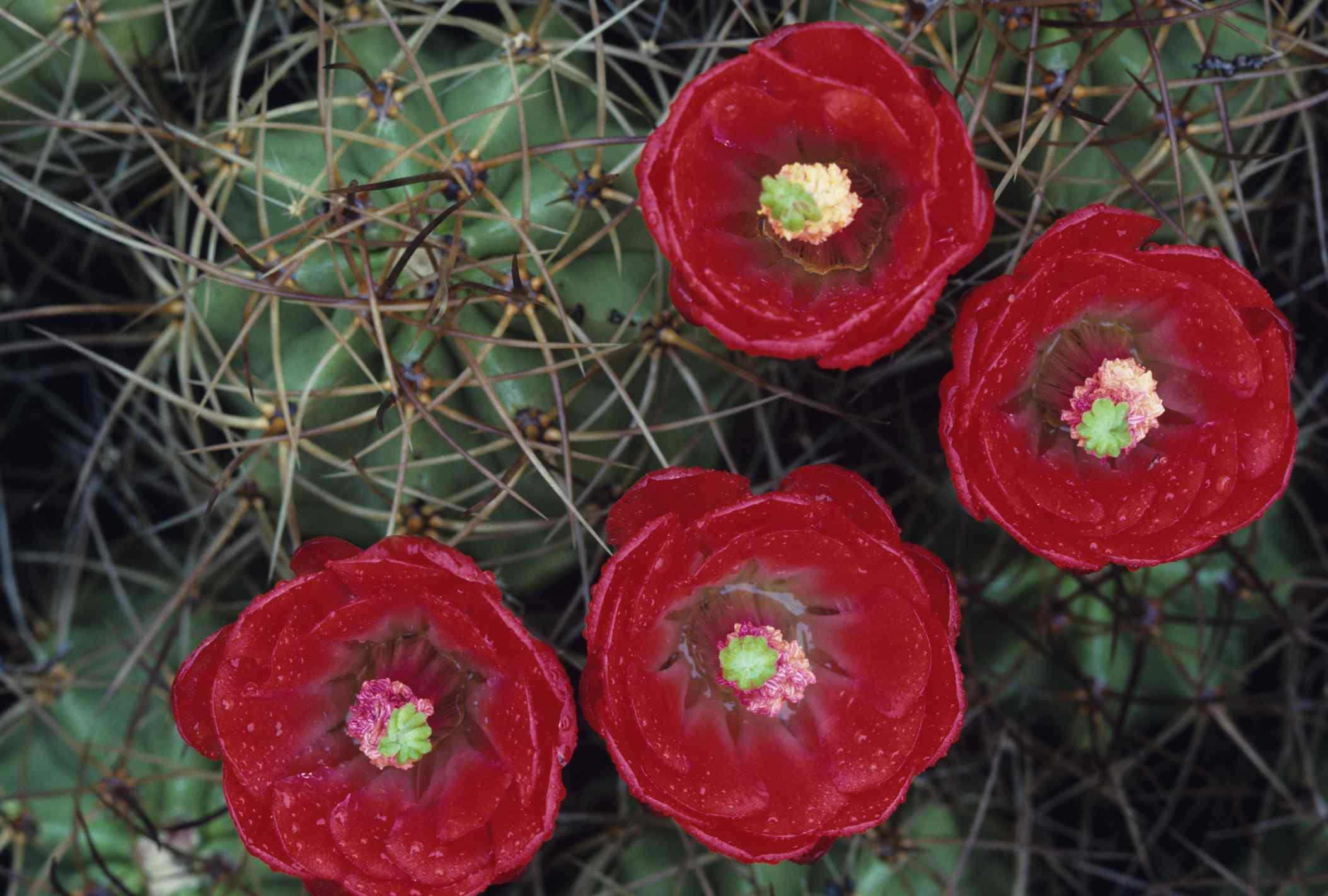 Hedgehog cactus, Mohave Desert. Joshua Tree NM, CA