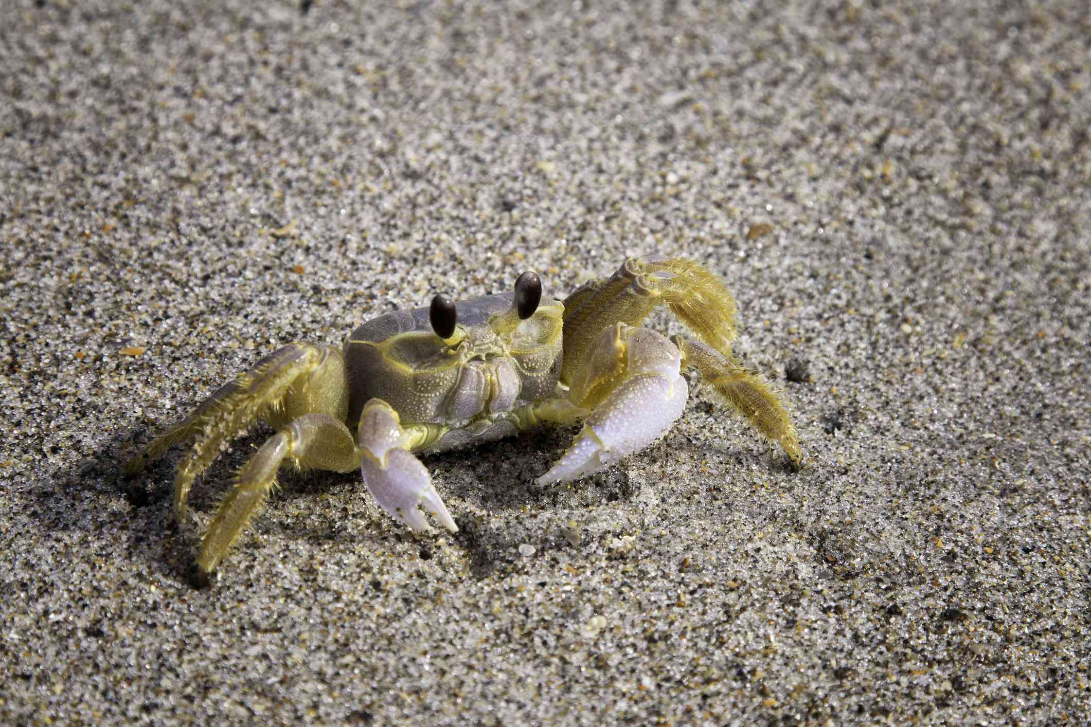 Close up image of Atlantic Ghost Crab on beach in Florida