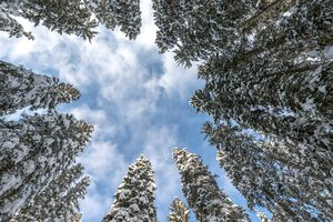 looking up at blue sky and white clouds from the base of a circle of pine trees covered in snow