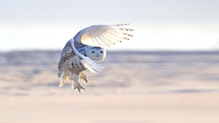 Snowy owl flying and looking toward camera