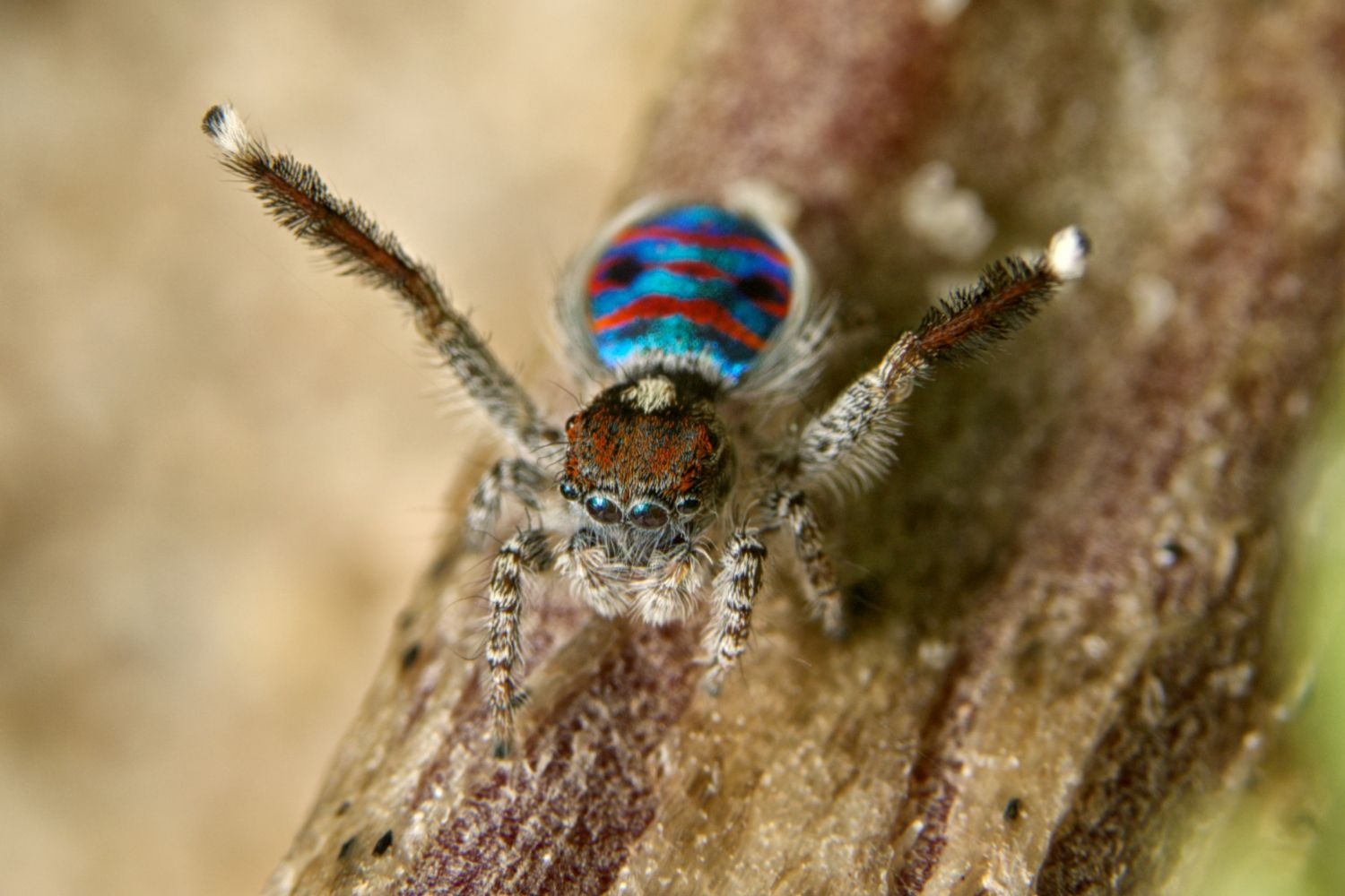 fuzzy peacock Spider on tree branch