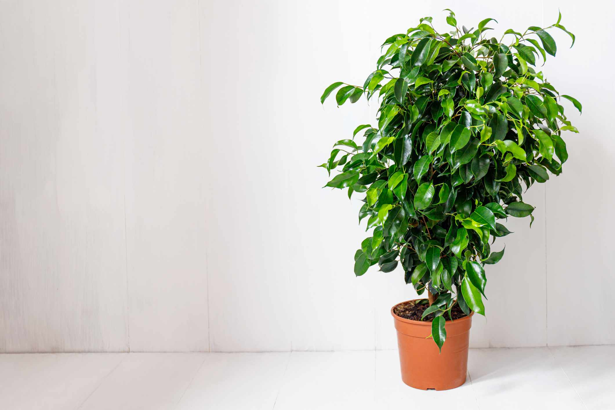 Ficus benjamina (weeping fig) against a white wall.