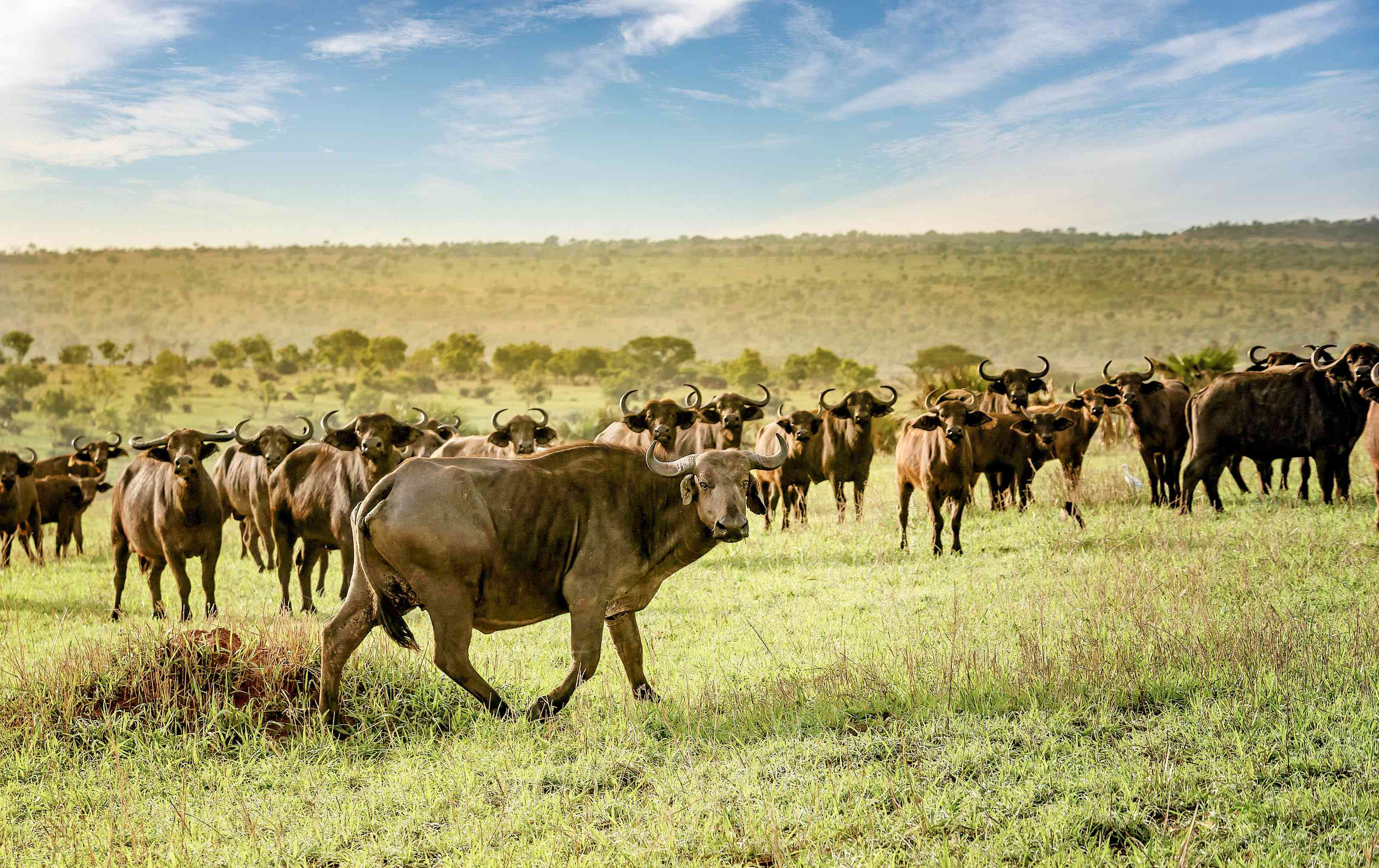 A herd of African buffalo on a plain.
