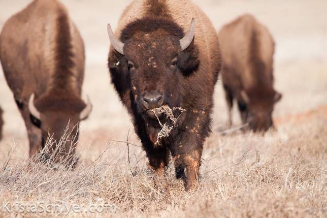 bison along the U.S. Mexico border