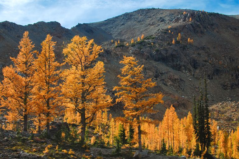 Western Larches with gold yellow leaves against a mountain backdrop.