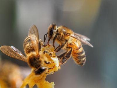 Close up of honey bees in Australia