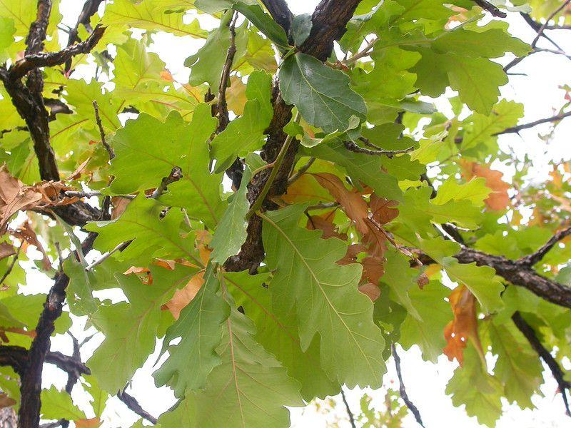 Detailed shot of Bur Oak tree.